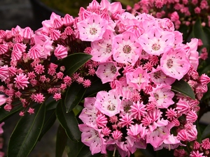 Kalmia latifolia Bridesmaid